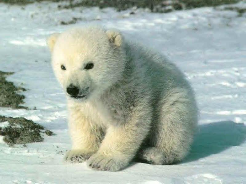 Peut-on encore sauver les ours polaires ?
